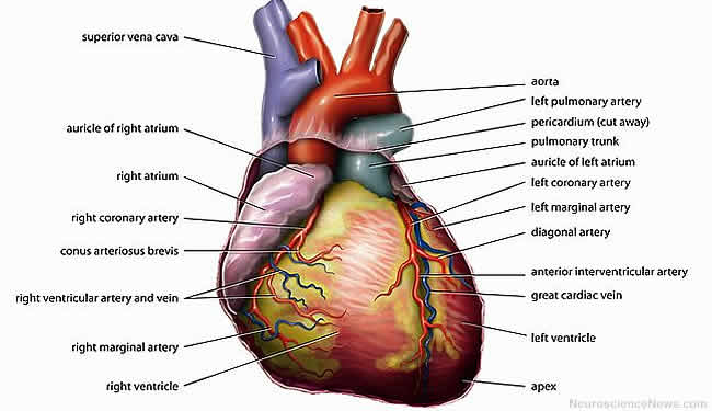 A heart with labels to various parts is shown.