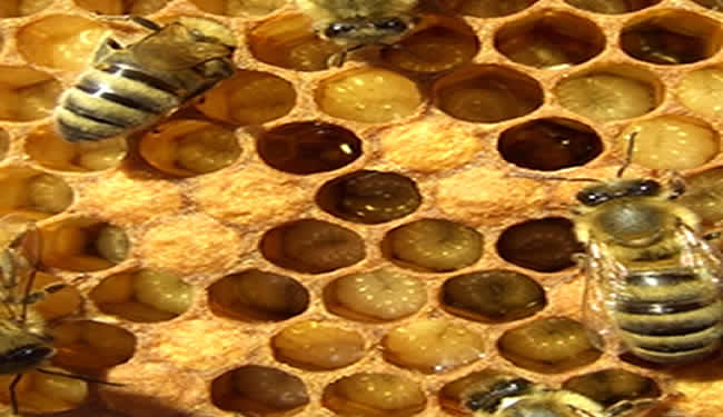 Honeybees in a nest are shown.