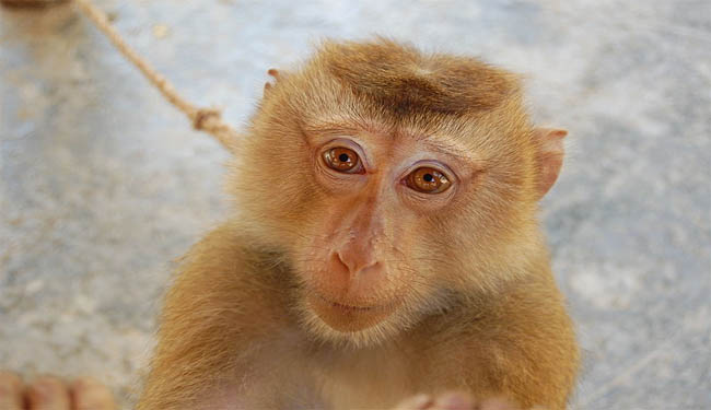 A macaque monkey is pictured here