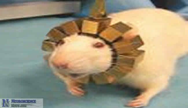 RatCAP Portable PET brain scanner on a rat.