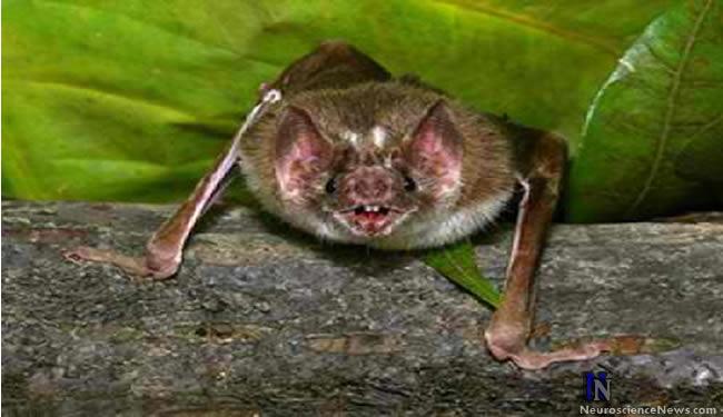 A vampire bat is shown.